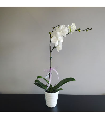 One Stem White Orchid