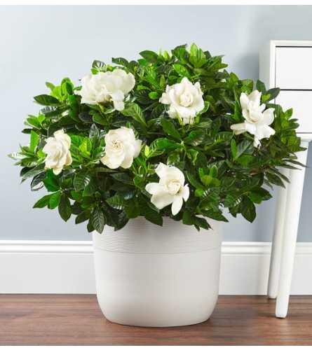 "10"" Gardenia floor plant"