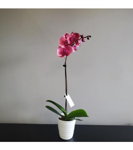 One Stem Dark Pink Orchid