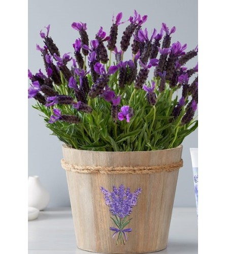 """Lovely Lavender plant 6.5"""" in a pot"""