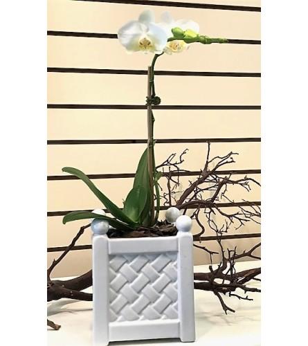 Petite Orchid in ceramic pot