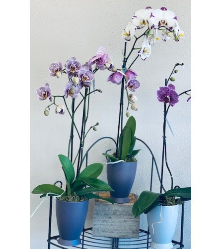 Orchid for mom