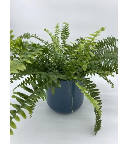 """Boston Fern. 6"""" boston fern plant"""