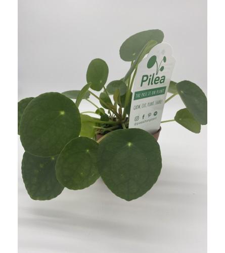 Pass along Pilea plant