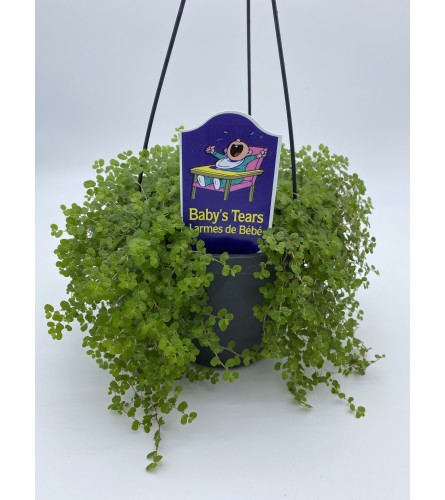 """5"""" Baby Tears green plant"""