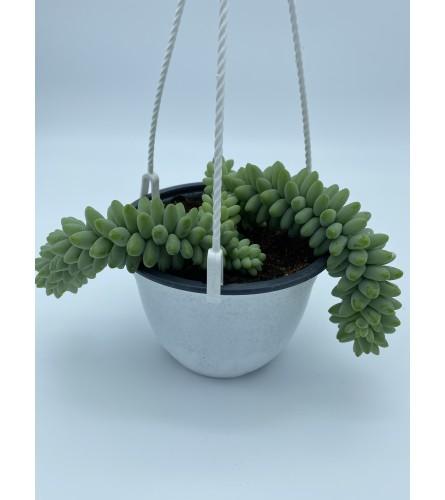 "5"" Burro's tail plant"