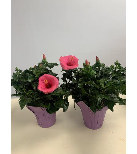 """6"""" Hibiscus Plant"""