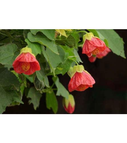 Flowering Maple Patio Plant