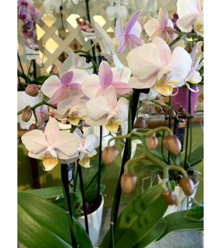 Dobbie's ORCHID PLANTS