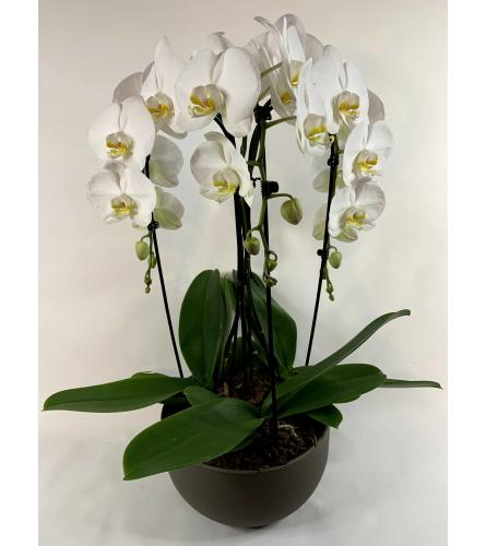 Tripple Cascade Orchid Plant