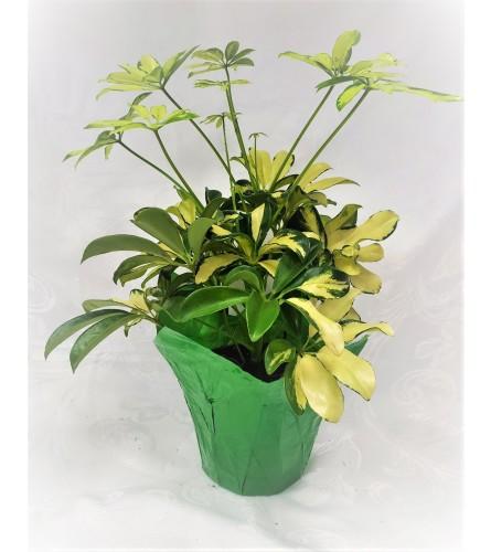 6 Inch Potted Schefflera Plant