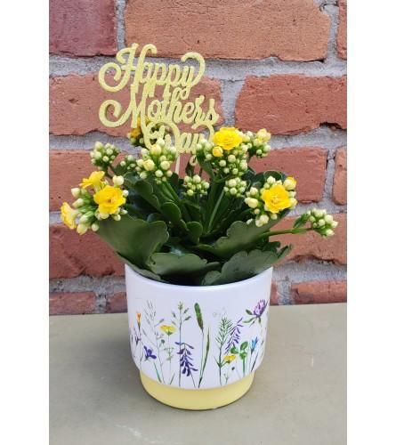 Flowering Kalanchoe for Mom
