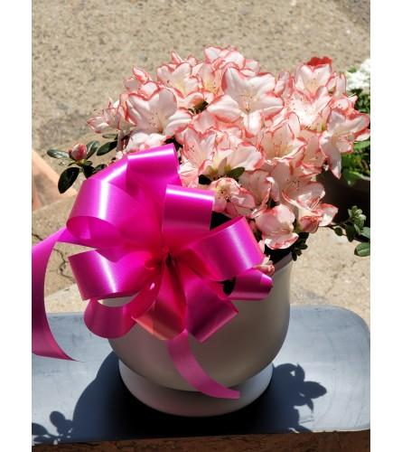 Azalea Ceramic beauty