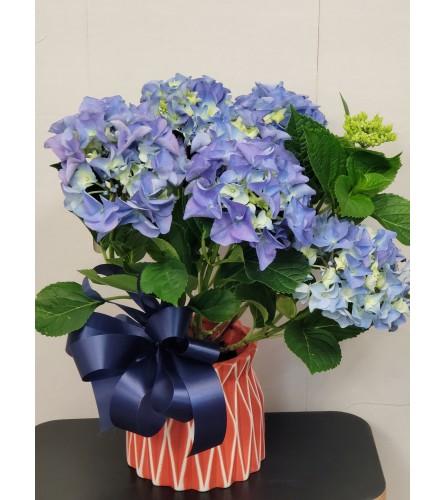 Mother's Day Hydrangea