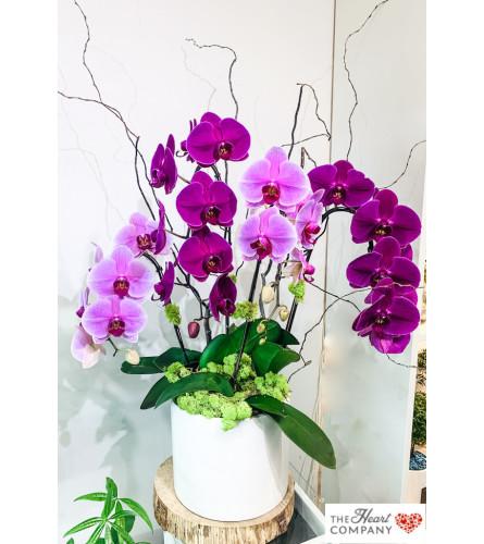 Breathtaking Splendor - Orchid Arrangement