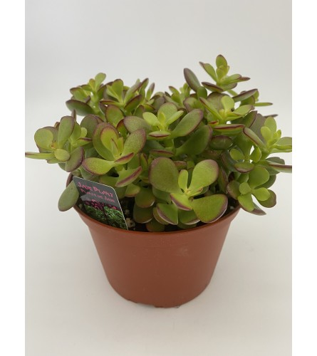 "6""Jade plant"