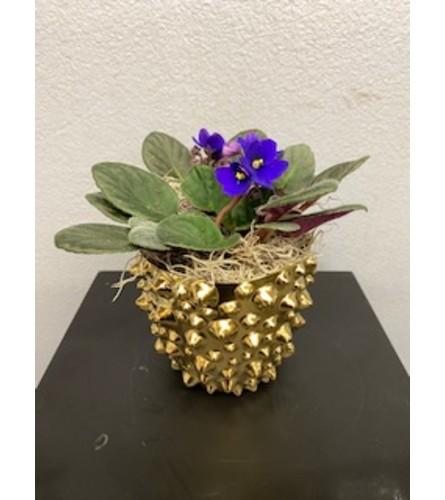 Golden Violets