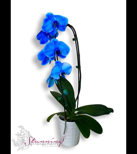 Blue Phalaenopsis Orchids Plant