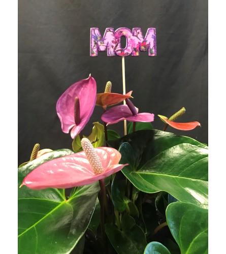 Mauve anthurium plant