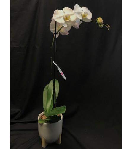 White Orchid in ceramic planter
