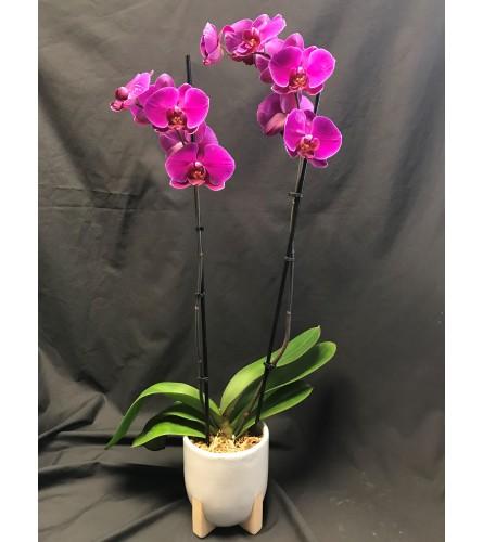 Purple 2 stem waterfall Phalaenopsis orchid