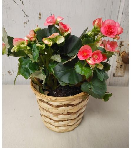 """6"""" Pink Begonia"""