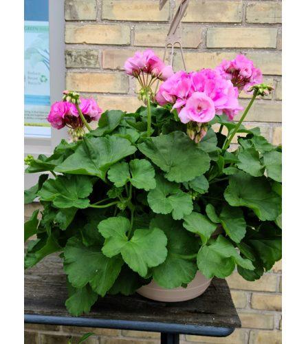 Geranium Garden Basket