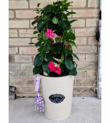 Potted Mandevilla Vine in Country Tin