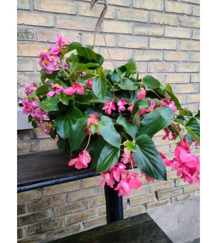 Dragon Wing Begonia Basket