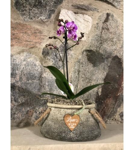 Miniature Dendro Orchid Plant