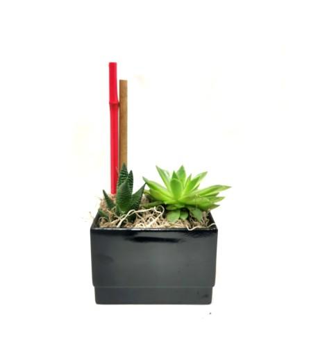Twinning Succulent