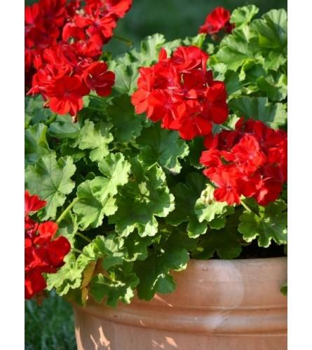 "Outdoor 12"" Geranium planter"