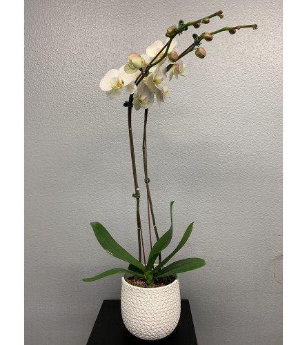 Ginny Orchid