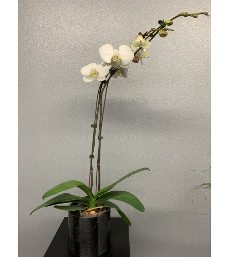 Delux Orchid