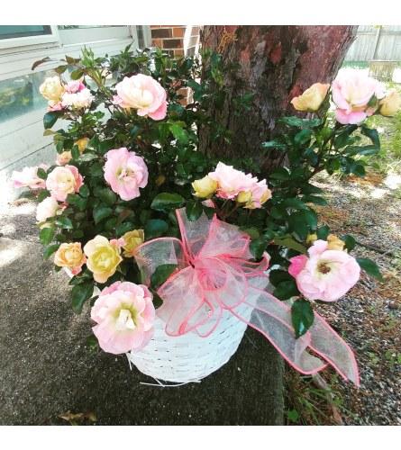 Peach Rose Drift