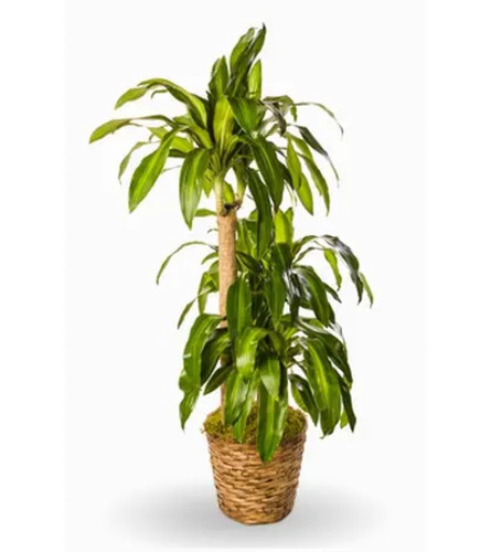 Air Purifying Plant: Dracaena Corn Plant in Basket