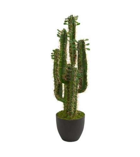 "Tall 24"" Cactus:Live Euphorbia trigona 'African Milk Tree' Potted"