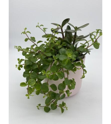 "Succulent garden 4"" *plants will vary"