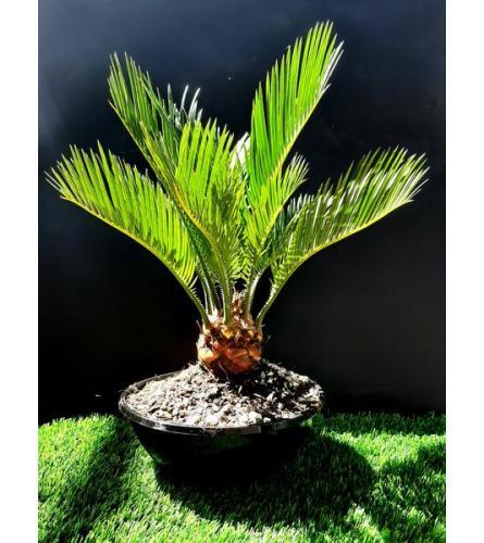 """Live 10"""" Tall Sago Palm Bonsai"""