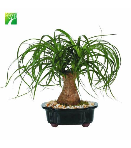 "Live 12"" Ponytail Palm Bonsai"