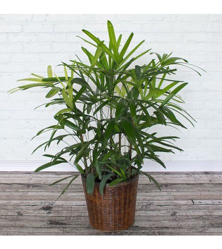 """Rare Live Lady Palm in Basket 8"""""""