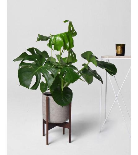 Live Split Leaf Monstera + Pot and Wood stand