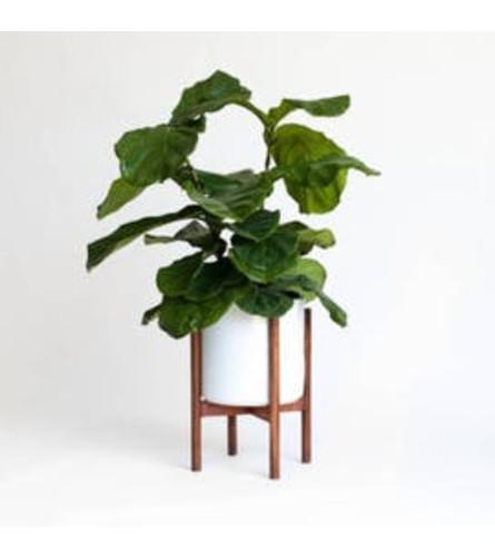 Live Fiddle Leaf Fig + Grey pot & Stand