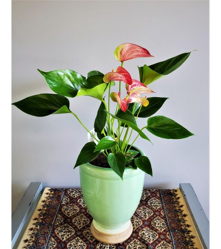 Red Potted Anthurium