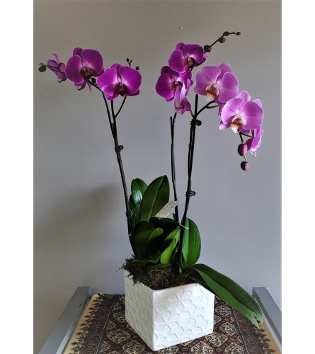 Three Stem Potted Orchid