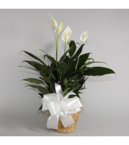 Small Potted Peace Lily