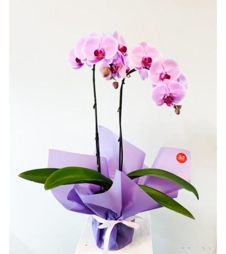 It's Your Love - 2 Stem Colour Orchid