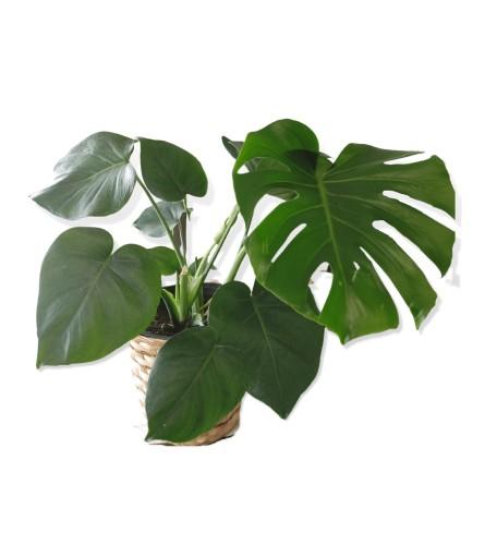"""8"""" Monstera Deliciosa Plant"""