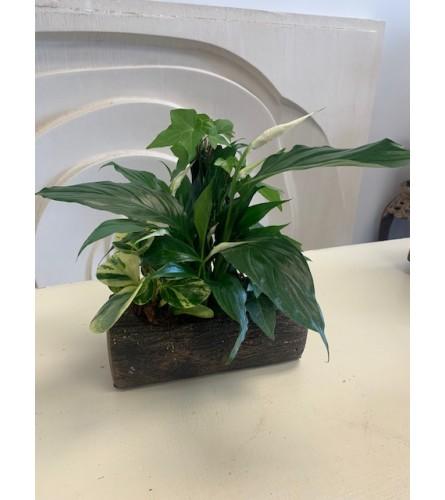 Peace Lily Log Planter