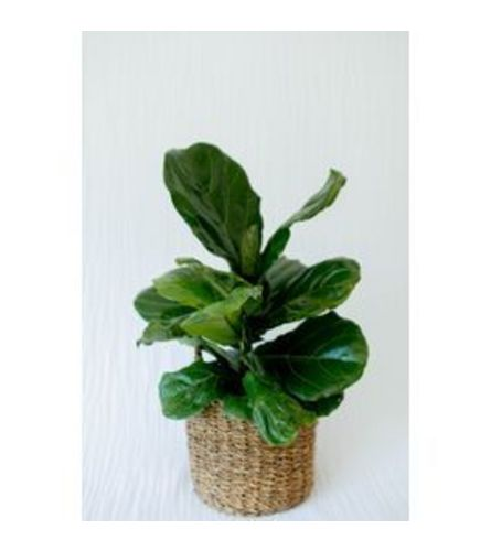 """6"""" potted Fiddle Leaf Fig"""